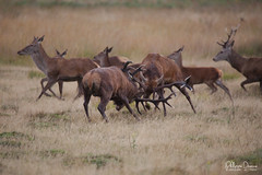 cerf-0148 (Philippe Druesne) Tags: cervuselaphus cerfélaphe reddeer stag rut brame animal mammifére mamal mammifère cervus elaphus cerf élaphe red deer