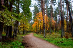Road in the forest (galterrashulc) Tags: latvia riga rīga latvija lettland forest autumn tree yellow green ground grass landscape nature flora gold road path irina galitskaya galterrashulc nikon d3200 nikkor 1200 2400 mm f40