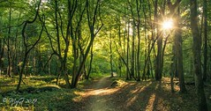 Waking forest (Mike Y. Gyver ( Back after an healthy break )) Tags: mygphotographiewixsitecommyg2017 myg forest flare arbre automne belgium belgique brussels bruxelles zen europe enjoy randonnée tree travel yellow orange paysage panorama path quiet sun serenity sunset shadows silhouette nikkor18105 d90 soleil starburst green goldenhour warm landscape mood colors contrast tmt