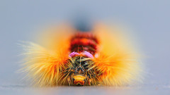 the hairy one.... (tdwrsa-2) Tags: canoneos70d ef100mmf28macrousm capelappet eutrichacapensis rondevleinaturereserve andreaskay caterpillar macro