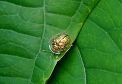 Tortoise Beetle —— Charidotella sp (creaturesnapper) Tags: tortoisebeetles coleoptera cassidinae insects panama beetles chrysomelidae charidotella