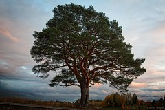 Old Pine Tree (felix200SX) Tags: pine tree sky clouds forest old outside canon 70d sigma24mmf14dghsmart