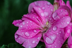 Pink (alison's daily photo) Tags: pink crazytuesday pelagonium raindrops flower garden flickrfriday warmcolours
