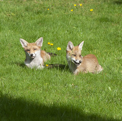 Three juvenile fox cubs, about 5 months old, relax in a suburban garden in Clapham, south London. (Anna Watson) Tags: three juvenile foxcubs 5months young adolescent relax suburban suburb suburbs urbanfox fox cub garden clapham southlondon siblings family litter pest vermin sunshine sunny sunbathye play scratch itch fleas