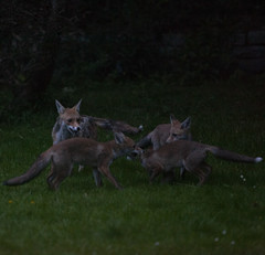 Fox cubs at dusk in a suburban garden in south London. (Anna Watson) Tags: fox cub foxcub urbanfox urban mother child family wild garden suburb suburbs suburban wildlife animal wildanimal scavenger lawn bush bushes flowers meadow