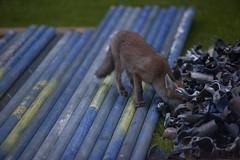 A fox cub explores piles of scaffolding poles left on a lawn in a suburban garden in Clapham, south London. (Anna Watson) Tags: nocturnal dusk wildlife fox urbanfox cub foxcub mammal wildanimal garden suburb suburban suburbs young london clapham lawn scaffolding nature natural unnatural