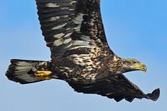 JuvenileBaldieClose-Up1Smaller (Rich Mayer Photography) Tags: eagle eagles animal animals nature fly flying flight avian wild life wildlife nikon