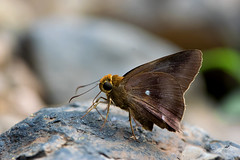 Hasora badra - the Common Awl (BugsAlive) Tags: butterfly mariposa papillon farfalla 蝴蝶 dagvlinder 自然 schmetterling бабочка conbướm ผีเสื้อ animal outdoor insects insect lepidoptera macro nature hesperiidae potanthusconfucius confuciandart coeliadinae wildlife chiangdaons chiangmai ผีเสื้อในประเทศไทย liveinsects thailand thailandbutterflies nikon105mm bugsalive ผีเสื้อหน้าเข็มธรรมดา