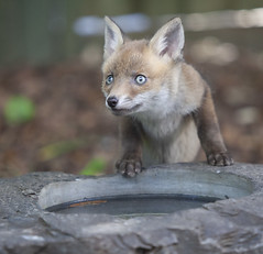 A young fox cub in a suburban garden in south London drinks from a slate bird-bath on decking close to a house. (Anna Watson) Tags: fox cub cubs foxcubs foxcub vixen parent child baby animal wildanimal wildlife lawn grass garden suburban urbanfox family mother motherhood nature natural feral scavenger pest siblings brothers sisters drink water birdbath slate thirsty adventurous brave exploring fearless