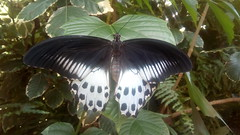 Blue Mormon Butterfly (dcosta_yardly) Tags: butterfliesofindia blue mormon butterfly state maharashtra