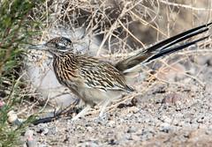 Roadrunner (Ed Sivon) Tags: america canon nature lasvegas wildlife western wild southwest desert clarkcounty flickr vegas bird henderson nevada preserve