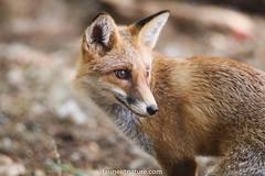 Renard Roux (fauneetnature) Tags: renard fox renardroux mammifère mammal photonature photoanimalière animalsphotography faune nature naturephotography wildlife animauxenliberté