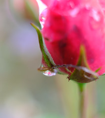 After the rain (dorian.blake@btinternet.com) Tags: rose roses petals water droplets raindrops glistening reflections blossoms gardening colourful macro closeup detailed zoom