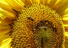 We need some sun. (Cajaflez) Tags: bloem flower fleur blume zonnebloem sunflower insects insekten bees bijen bienen coth5 ngc npc