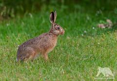 Hare (fascinationwildlife) Tags: animal mammal wild wildlife wildlifephotography wildtiere tiere nature natur naturephotography naturfotografie nikon nikonphotography hare hase feldhase grass backyard nordfriesland north nordsee summer garten garden schleswig holstein deutschland germany dusk