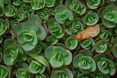Helicopter Seed On Stonecrop (Ken Mattison) Tags: plants stonecrop limezinger sedumx seeds helicopterseeds colours color closeup macro composition texture patterns green summer garden park milwaukeecountyparks whitnallpark boernerbotanicalgardens wisconsin usa panasoniclumix fz1000
