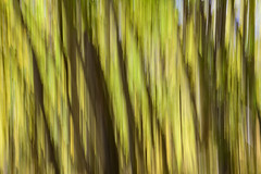 Abstract Aspens (Bob Nastasi) Tags: colorado aspengrove abstract z7 bobnastasi