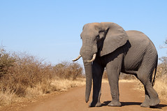 Elephant road block (juanita nicholson) Tags: elephant wild wildlife nature outdoors outside southafrica kruger tusks trunk ngysaex