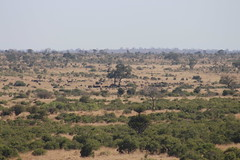Herd of Buffalo in the distance (Rckr88) Tags: krugernationalpark southafrica kruger national park south africa herd buffalo distance herdofbuffalointhedistance animals animal nature naturalworld outdoors wilderness wildlife greenery green grass