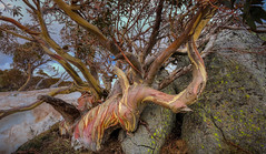 #7855 Snowgum (Rmonty119) Tags: canon eos r travel snow snowgum tree lightroom light colour skylum stone rock