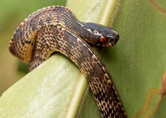 Vertebral Slug Snake (Asthenodipsas vertebralis) (cowyeow) Tags: frasershill wildlife nature forest malaysia asia herp herping herps herpetology snake snakes slugsnake vertebralslugsnake asthenodipsas vertebralis asthenodipsasvertebralis pahang
