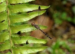 Female Common Woodskimmer --- Uracis imbuta (creaturesnapper) Tags: dragonflies odonata libellulidae insects panama commonwoodskimmer uracisimbuta