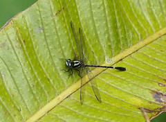 Clubtail Dragonfly —- Progomphus pygmaeus (creaturesnapper) Tags: dragonflies odonata insects panama gomphidae