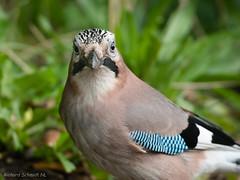 Garrulus glandarius (De Hollena) Tags: arrendajoeuroasiático eichelhäher eurasianjay gaai garrulusglandarius geaideschênes jay vlaamsegaai vogel bird birding birdphotography oiseau wildlife