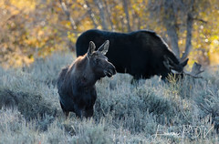 a SURVIVOR (laura's Point of View) Tags: moose moosecalf animal wildlife nature naturephotography wild sage aspens autumn morning jacksonhole wyoming west western gtnp grandtetonnationalpark tetons nationalpark unitedstates lauraspov lauraspointofview