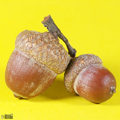 I must be a squirrel , cause I love these nuts 😍... (happad fotografie) Tags: closeup sb910 flash vibrant colorful bright dof depthoffield yellow affinityphoto focusstacking d610 nikon 105mm nikkor micro macro autumn fall acorn nuts