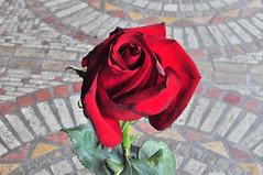 DSC_0845 (pratesip) Tags: fiori rose rosse