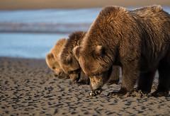 "Who Needs Ducks?  3I9300 (Dr DAD (Daniel A D'Auria MD)) Tags: ""brownbears"" ""brownbearcubs"" ""bears"" cubs nature wildlife mammals predators ""livingwithbears"" grizzly grizzlies ""coastalbrownbears"" alaska ""lakeclarknationalpark"" ""danielad'auriamd"" ""drdadbooks"" ""children'swildlifebooksbydanielad'auriamd"" ""july2017"" ""grandtetonnationalpark"" ""gtnp"" ""bearsofwyoming"" ""grizzlybears"" ""september2017"" kenai ""kenaipeninsula"" ""august2018"" ""sheltercreekcamp"" ""silversalmoncreeklodge"" august2019"" ""september2019"""
