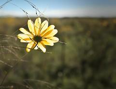 Prairie Sunflower (paulgarf53) Tags: sunflower prairie wildflower yellow lakejesup florida nature flower nikon d700 backlit