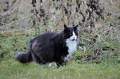 stop....look.........and listen!! (KvikneFoto) Tags: katt cat bobkatt bokeh tamron nikon høst autumn fall