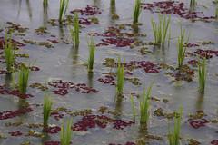 Rice (Travel Marco) Tags: indonesia asia bali jatiluwih rice riceterraces unesco unescoworldheritage macro macromonday details water nature colours