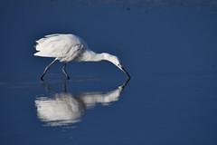 aigrette garzette / Egretta garzetta 19E_1340 (Bernard Fabbro) Tags: aigrette garzette oiseau bird egretta garzetta little egret