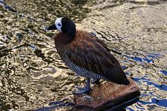 White Faced Whistling Duck (Dougie Edmond) Tags: lasvegas nevada unitedstatesofamerica bird nature wildlife