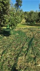 Raccolta 2019 (Olio Poldo - Olio Extra Vergine di Oliva) Tags: oliopoldo cucinaconpoldo poldo olioextraverginedioliva olioextraverginedoliva olio olioevo extravirginoliveoil evo evoo oliveoil nativesolivenol nativesolivenolextra olivenol olive olivetree olivegrove olives olivenolextra oliva leccino cultivar monovarietale monocultivar