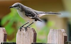 He's Hungry (ACEZandEIGHTZ) Tags: mimuspolyglottos nikond3200 florida bokeh woodenfence closeup bird avian backyard birdwatcher macro gray wings feathers mockingbird coth5 sunrays5