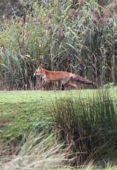 """Vulpes vulpes"" ( fox ) (bugman11) Tags: fox vulpesvulpes vos fauna canon animal animals mammal mammals 100mm28lmacro nederland amsterdamsewaterleidingduinen thenetherlands vogelenzang nature autumn"