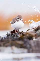 ''Boule d'automne!'' Pluvier semipalmé-Semipalmated (pascaleforest) Tags: automne canada quebec faune wildlife wild nature nikon passion bird oiseau