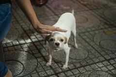 doggy 1 (kuuan) Tags: mf manualfocus penf zuiko penff1440mm 1440mm apsc sonynex5n vietnam saigon night street dog doggy eyes look duck stroking hand