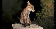 Raposa - Vulpes vulpes - Fox (Jose Sousa) Tags: mammalia mammal