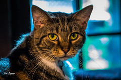 Cat Poser (gvbtom) Tags: cats cute eyes furry pet weeklytheme window