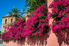 Palacio de San Telmo (amarilloladi) Tags: bougainvillea flowers flora pink crazytuesday rosa palaciodesantelmo santelmopalace seville spain sevilla españa bougainvilleas