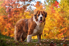 Picture of the Day (Keshet Kennels & Rescue) Tags: adoption dog dogs canine ottawa ontario canada keshet large breed animal animals kennel rescue pet pets field nature autumn fall photography st bernard saint bernese mountain mix colours colors foliage bright colorful colourful orange yellow