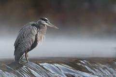 D500K19-Matin de brume-3465 (Donfo52) Tags: 2019 héron octobre oiseau oiseaux échassier