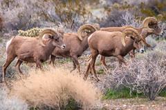 Bachelor Herd (Wycpl) Tags: desertbighornsheep nevada rams jcpphotography