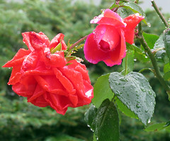 Too blooming wet (Blossom's Mom.(Sheila Hess)) Tags: flora roses rain red garden october 2019