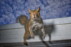 Squirrel Portrait at Breakfast (Bcpix.com) Tags: squirrel godox lit strobe portrait rodent clouds sky